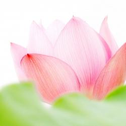 pink-lotus-flower-53170-1920x1200